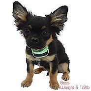 "Our K9 ""Mint"" Extra Small – Small Dogs - Pain Free Fully Automatic Bark Collar – Rechargeable – Painless Safety Prong..."