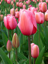List of Top Roses | Tulip - Wikipedia, the free encyclopedia