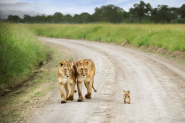 Top 30 Instagram Marketers Share Their Best Tools and Tips | Interesting Photo of the Day: Baby Lion Walks Proud