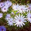 Vibrant #daisies make fir a perfect #spring weekend! #Adelaide #SouthAustralia #primavera #newlife