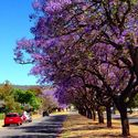 Jacarandas down the middle, red car on the side. Col. Light Gardens, Adelaide. #jacaranda #jacaranda14 #avenue #colon...
