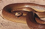 Top 10 Deadliest Snakes In The World | Inland Taipan