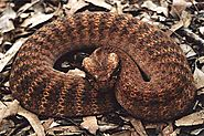 Top 10 Deadliest Snakes In The World | Death Adder