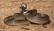 Top 10 Deadliest Snakes In The World | Eastern Brown Snake