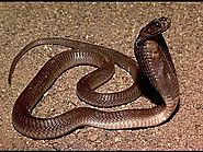 Top 10 Deadliest Snakes In The World | Philippine Cobra