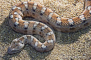 Top 10 Deadliest Snakes In The World | Saw Scaled Viper