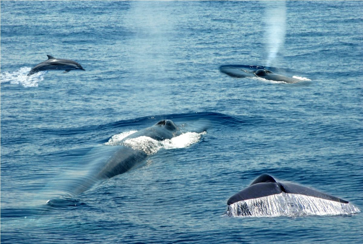 an overview of blue whales Why are blue whales endangered - lesson for kids lesson summary the magnificent blue whale is endangered as a result of.