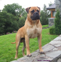 Best dog breeds to keep your home safe | Bullmastiff
