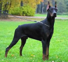 Best dog breeds to keep your home safe | Doberman Pinscher