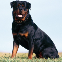 Best dog breeds to keep your home safe | Rottweiler