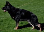 Best dog breeds to keep your home safe | German Shepherd