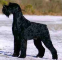 Best dog breeds to keep your home safe | Giant Schnauzer