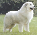 Best dog breeds to keep your home safe | Great Pyrenees
