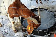 Goats are needy during winter months, so here's some tips to make sure you are prepared