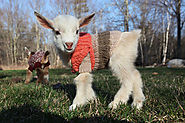 Yup. You can put your goat in a sweater :)
