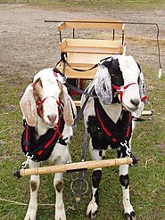 Goats can be taught how to haul a cart