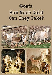 Everything You Should Know About Raising Goats | When it comes to cold, here's how much a goat can take