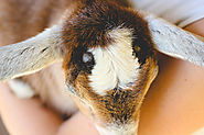 Apparently you can remove goat horns naturally with essential oils