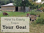 HOW TO EASILY TRAIN YOUR GOATS