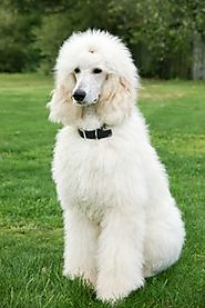 Best Clippers For Poodles | Best Clippers for Poodles