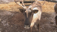 December Themed Technology Lessons | Animal Planet Live - Reindeer Cam