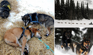 Dog tired! Huskies take a well-deserved break during the 1,000-mile Iditarod sled race through Alaska's wilderness