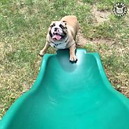 The Pet Collective - English Bulldogs Trying Their Best | Facebook