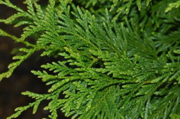 Cedar Tree Varieties Pictures ~ Species of trees with bronx streets named after them