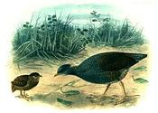 Tongan megapode - Wikipedia, the free encyclopedia