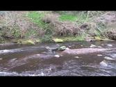 Dog having fun on the Water of Leith, Edinburgh, Scotland (Accompanied by music)