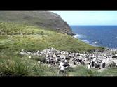 Top Videos for Cruise Destination West Point, Falkland Islands–Created by BoostVacations.com Staff | Black-Browed Albatross Colony - Westpoint, Falkland Islands