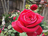 Top 10 Red Hybrid Tea Roses