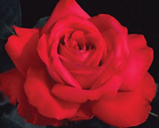 Top 10 Red Hybrid Tea Roses A Listly List