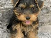 The Dogs of Pinterest | Yorkie Terrors