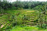 The Paddy Fields of Ubud