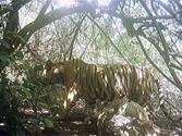 Chhattisgarh News: one tiger, three tigress and three cubs in kawardha