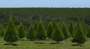 Buy Christmas Trees Online And Save your Time
