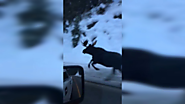 Montana Woman Captures Incredible Encounter With Moose Running Down Highway