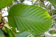 Buy Kratom in Australia: Is it Legal or Banned?