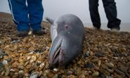 UK faces a referral to the ECJ unless it designates more protection sites for harbour porpoises