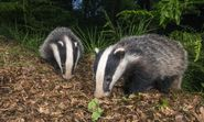 Court of Appeal rules against the Badger Trust's attempt to stop badger culls