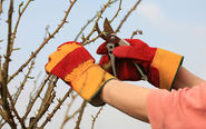 The right way to prune back a rose bush