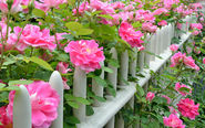 How to plant a new rose bush in the garden - David Domoney