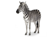 Will Google Zebra Hit Social? A Possible New Google Algorithm Update