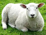 What Are the Basics of Sheep Shearing?