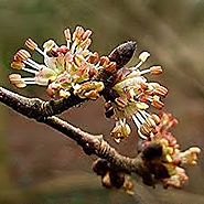 Bach Flower Remedy Of The Month: Elm ~ The Remedy For Overwhelm