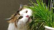 Grow grass for your cats and other pets