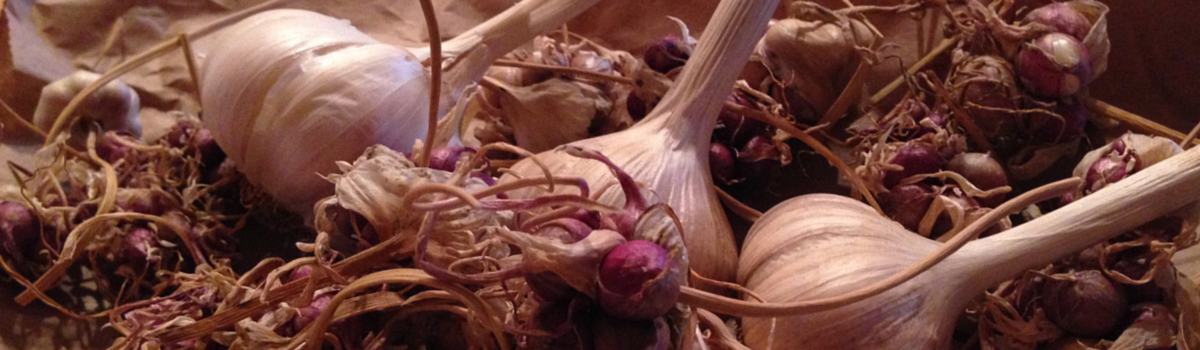 Headline for Top Ten Resources for Garlic Cultivation in WNC
