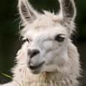 Become a member of the Michigan Llama Association