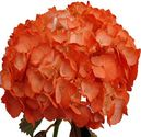 Online Shop for Hydrangea Flower